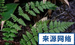 毛轴碎米蕨的功效与作用