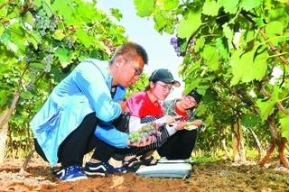 中国农业大学何绍贞/刘庆昌研究团队在甘薯抗逆胁迫机制研究中取得重要进展