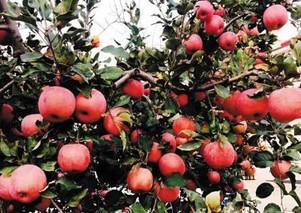 新农寒富苹果