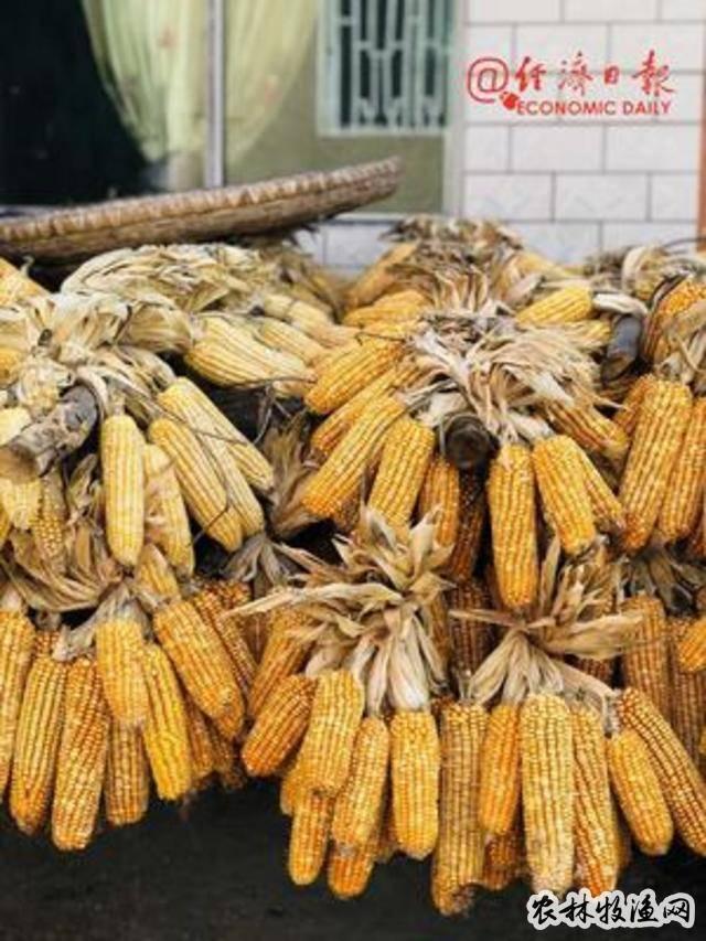 今年秋冬种基本结束 冬小麦、冬油菜生产面积稳定