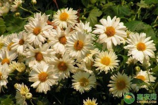 菊花的品种有哪些?菊花常见品种大全