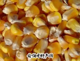 赤峰黄玉米