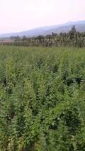 连翘苗一亩地栽多少棵?连翘亩产量是多少?