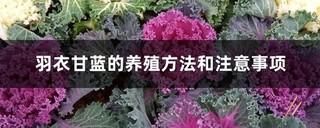 羽衣甘蓝的养殖方法和注意事项