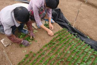 安吉白茶茶苗的种植