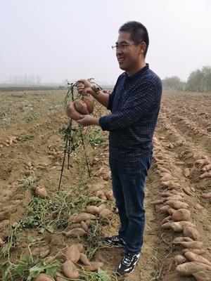 北京农业企业帮扶河北涞水 红薯丰收带动300余贫困户