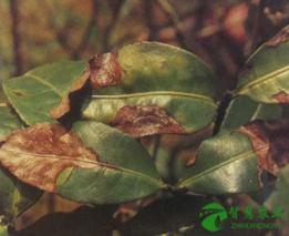 绿色防治茶园叶枯病