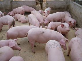 糟渣类饲料的特点及饲喂方法有哪些?
