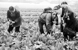 菜薹的田间管理技术