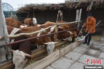 """瓜州县推动肉牛""""无忧养殖"""" 极速5分排列3乐当""""牛倌"""""""