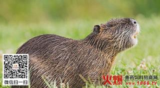 夏季饲养海狸鼠注意啥