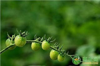 番茄茎秆细弱治理方法
