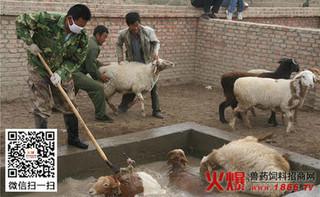 羊药浴时应注意的问题