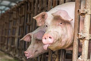 监测防控野猪非洲猪瘟疫情