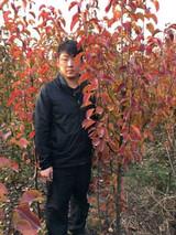 彩叶豆梨适合哪里种植