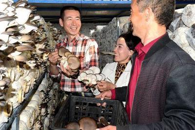 数字温湿大棚种蘑菇 访惠聚工作队教村民致富