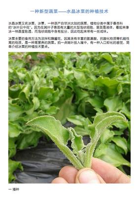 冰菜可以露天种植吗?冰菜种植条件介绍