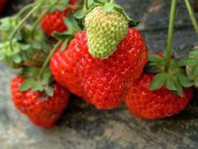 结根草莓的功效与作用