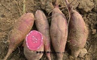 永福紫花红薯
