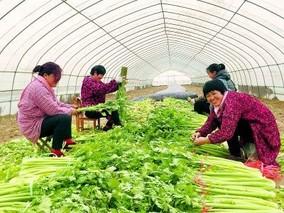 山东:芹菜无公害 一户每年增收近万元
