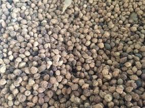 紫叶稠李种子怎么种?紫叶稠李种子育苗