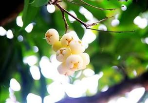蒲桃的营养价值