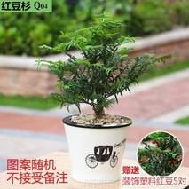 秃叶红豆树的功效与作用