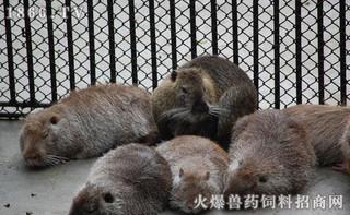 人工饲养海狸鼠可用哪些饲料?