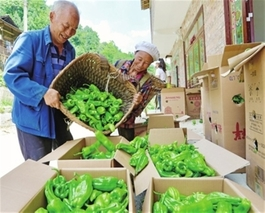 新疆和田县:规模种植辣椒助民增收致富
