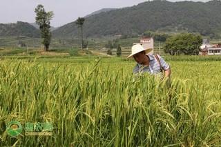 2021年4月稻谷价格最新行情预测