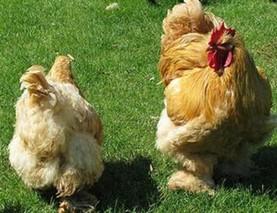 滁州九斤黄鸡