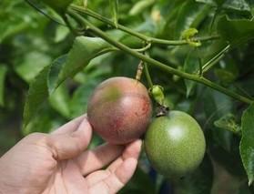 百香果种植应施生物有机肥