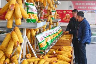 选玉米种子四注意