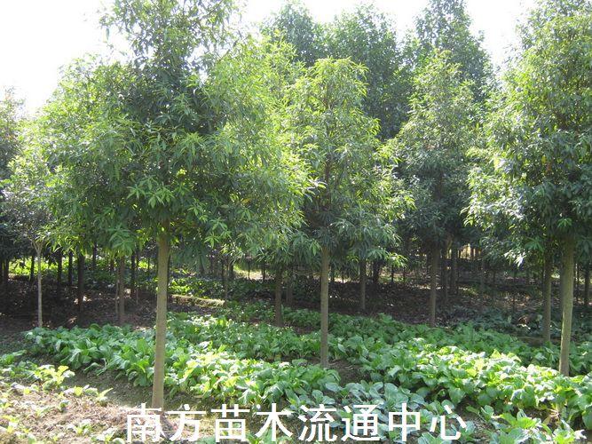 楠树怎么种植?楠树的种植方法
