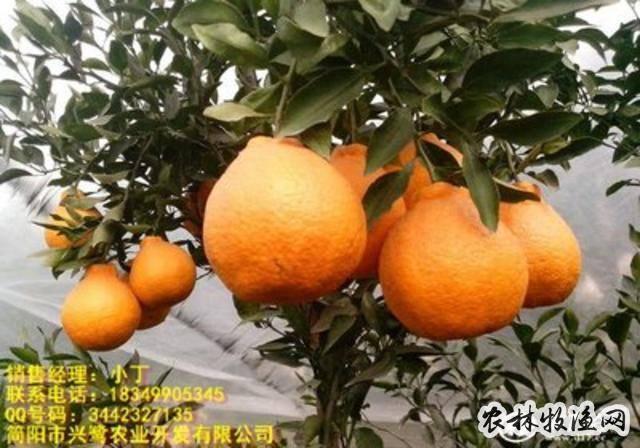 湖南柑橘用肥特点