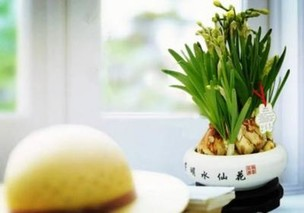 上海崇明水仙花受追捧