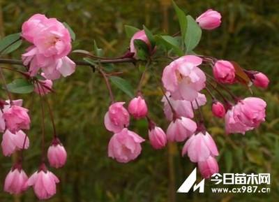 北美海棠可以扦插吗?北美海棠扦插繁殖方法