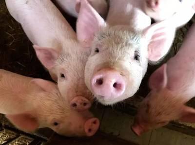 中国科研团队*成功解析非洲猪瘟病毒精细三维结构