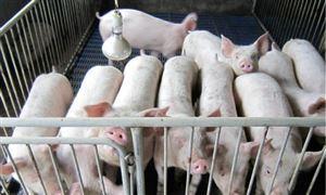 生猪产能继续向好 预计春节期间猪肉供需总体平稳