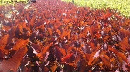 紫叶稠李种子几月播种最好?紫叶稠李播种技术