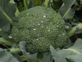 种植青花菜栽培技术要点