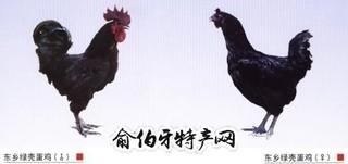 东乡绿壳蛋鸡