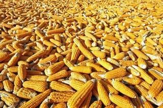 今日玉米价格多少钱一斤?玉米价格真的下跌了吗?