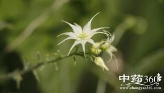 荔枝藤的功效与作用