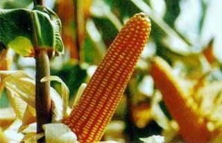 辽宁:平均亩产1347.3公斤!科技种田创东北玉米亩产新纪录