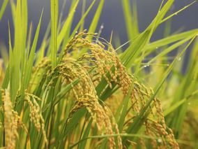 政策性稻谷尚未出库稻米市场已先行走弱