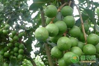 种植澳洲坚果前景如何?澳洲坚果种植技术