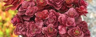 小球玫瑰冬天的养殖方法和注意事项