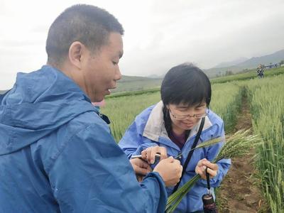 青海省小麦农药减施技术取得新突破