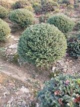 龟甲冬青球如何种植?龟甲冬青球种植时间方法